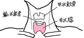 甲状腺の部位 名称入り 1.jpg